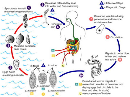 Platyhelminthes disease