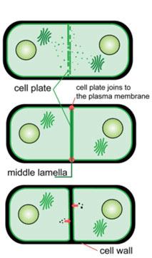 mitosis-Cytokinesis