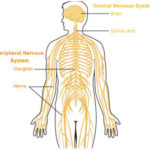 What is Nervous System