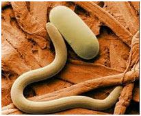 Aschelminthes phylum - Sós víz méregtelenítése