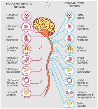 Peripheral nervous system Functions