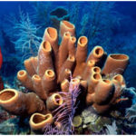 Phylum Porifera: The Most Primitive Animals