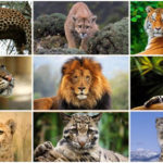 7 Big Cats in the World