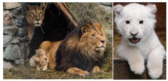 big-cats-lion