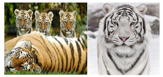 big-cats-tiger