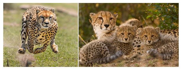 big-cats-cheetah