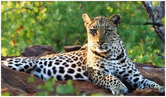 big-cats-leopard
