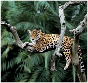 big-cats-Jaguar