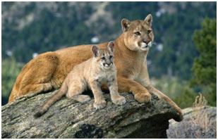 big-cats-puma