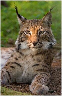 big-cats-Lynx