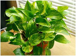 Low-maint-Money-plant
