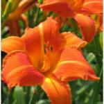 "9 Eye catching ""Orange Flower"" Plants For Your Garden"