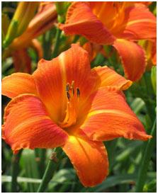 Orange-Day-Lily