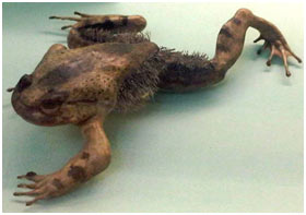 Horror-Frog