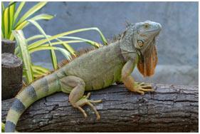 The-Iguanas