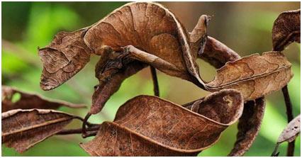 Leaf-Tailed-Gecko
