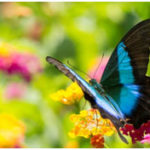 Most Beautiful Species of Butterfly