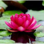 Beautiful Types of Lotus - Nelumbo Nucifera