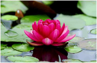 Lotus-featured