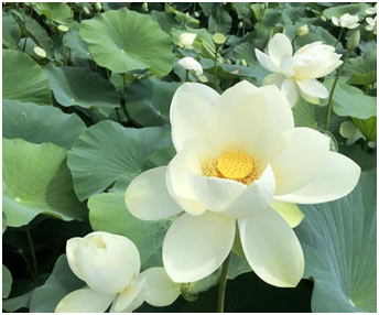 Lotus-of-Golden-Wheel