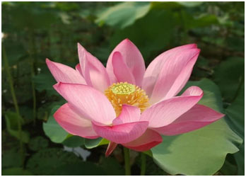 Lotus-of-the-Clear-Mo