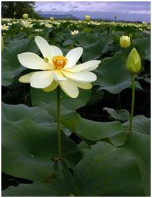 American-Lotus
