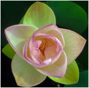 Green-Maiden-Lotus