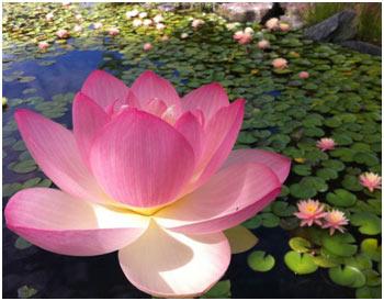 Asiatic-Lotus