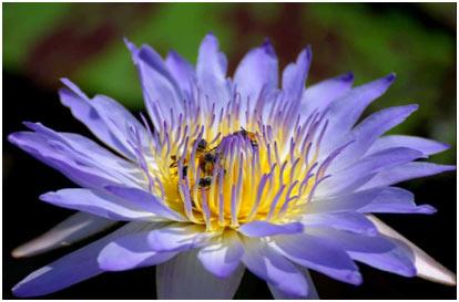Blue-Star-Lotus
