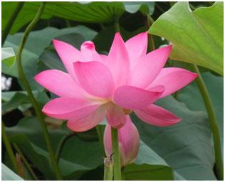 Cherry-Lotus