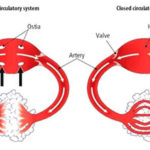 Open and Closed Circulatory System Differences
