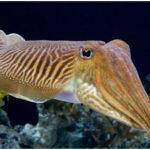 Mollusca-cuttlefish