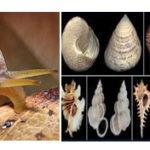 Phylum-shells