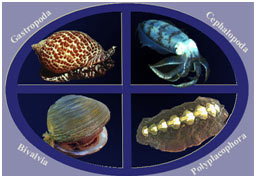 Mollusca-Classification