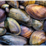 Phylum Mollusca - Multiple Choice Questions (MCQs)
