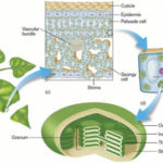 Chloroplasts-2