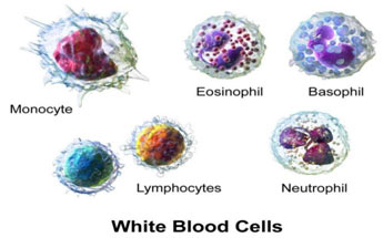 White--blood-cell