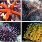 Phylum Echinodermata - Multiple Choice Questions (MCQs)