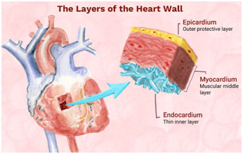 heart-Structure-Function