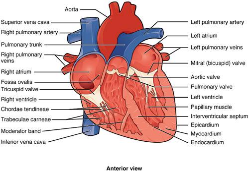 heart-anterior-view