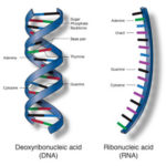 Nucleic acids - Definition, Structure and Applications