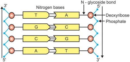 nitrogen-bases