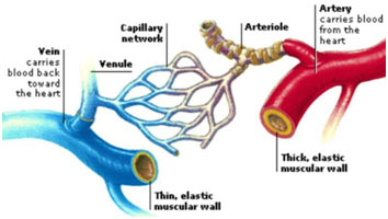 Arteries,-Veins-and-Caplaries-featured