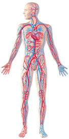 The Blood Vessels - Arteries, Capillaries and Veins