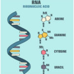 RNA Structure, Types [mRNA, tRNA, rRNA], and Functions