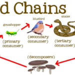 Food Chain, Food Web and Energy Flow in Food Chain