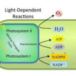 Photosynthesis Reactions: Light Dependent Reactions, Chemiosmosis