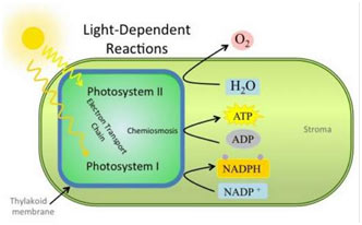 formation of ATP and NADPH