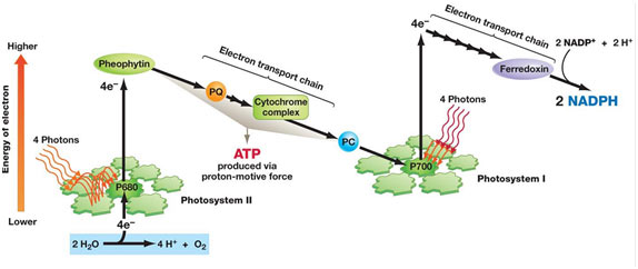 Non-cyclic-Phosphoryla