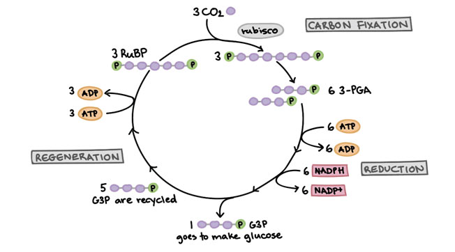 Light-independent-reactions